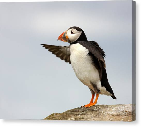 Puffin On The Farne Islands Great Britain Canvas Print