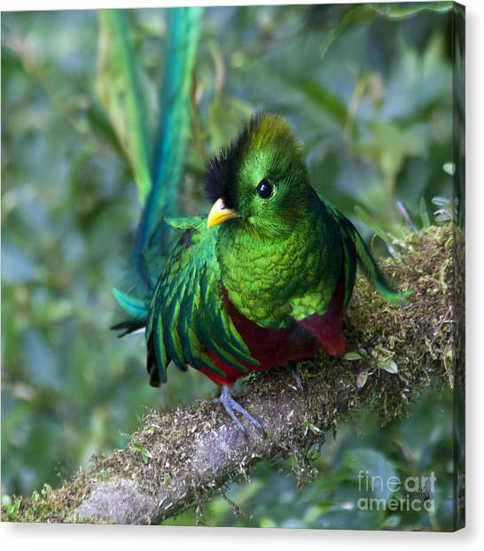 Cloud Forests Canvas Print - Quetzal by Heiko Koehrer-Wagner