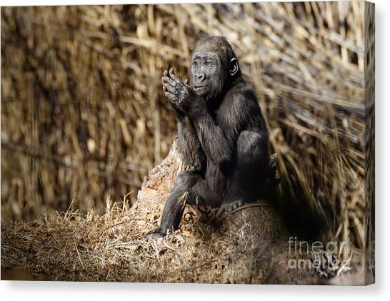 Quiet Juvenile Gorilla Canvas Print