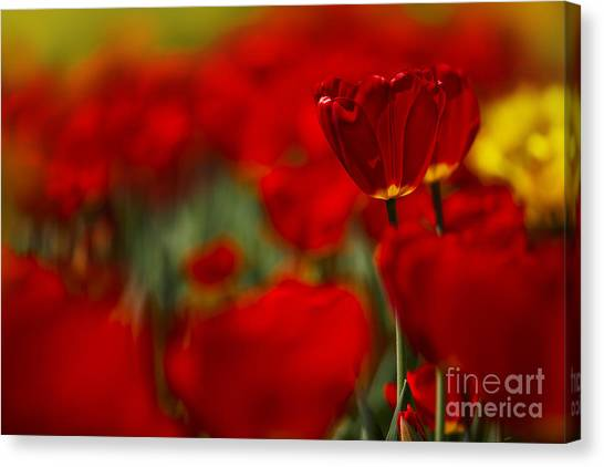 Yellow Tulips Canvas Print - Red And Yellow Tulips by Nailia Schwarz