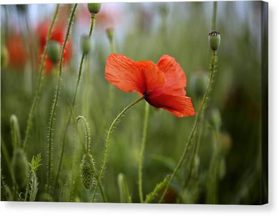Botanical Garden Canvas Print - Red Poppy Flowers by Nailia Schwarz