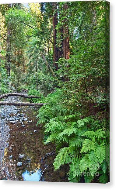 Redwood Forest Canvas Print - Redwood Forest Of Muir Woods National Monument In San Francisco. by Jamie Pham