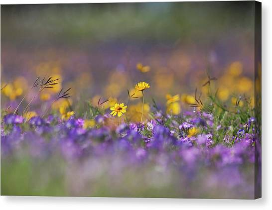 Phlox Canvas Print - Roadside Wildflowers In Texas, Spring by Larry Ditto