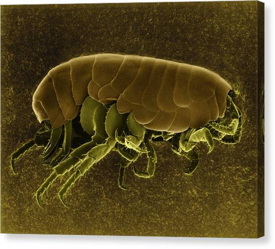 Fleas Canvas Print - Sand Flea (orchestia Agilis) by Dennis Kunkel Microscopy/science Photo Library