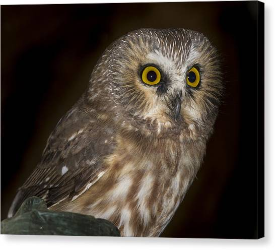 Saw-whet Canvas Print