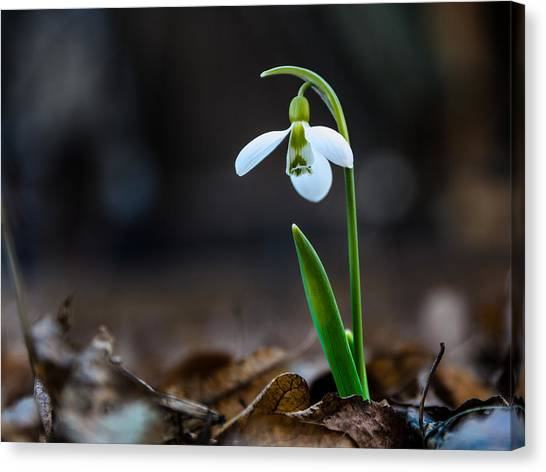 Snowdrop Flower Canvas Print