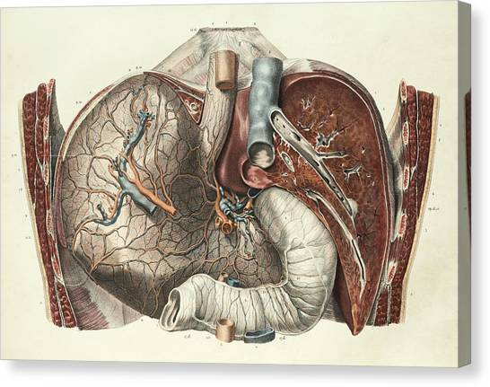 Abdomen Canvas Print - Stomach And Liver by Science Photo Library