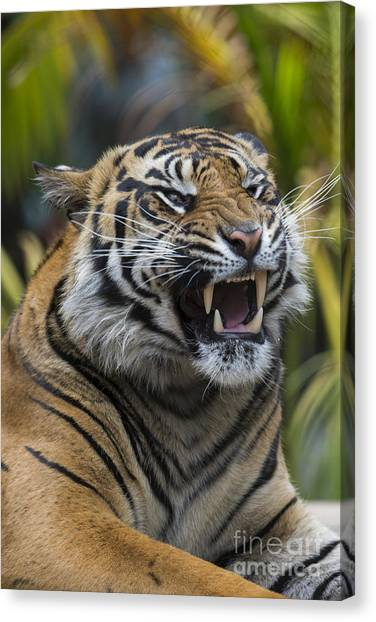 Animal Behaviour Canvas Print - Sumatran Tiger by San Diego Zoo