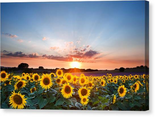 Floral Canvas Print - Sunflower Summer Sunset Landscape With Blue Skies by Matthew Gibson