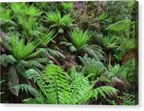 Great Otway National Park Canvas Print - Tree Fern In Melba Gully, Great Otway by Martin Zwick