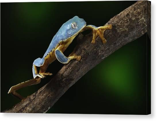 Tree Frog Climbing Canvas Print