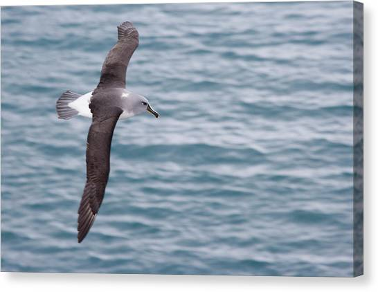 Albatross Canvas Print - Uk Territory, South Georgia Island by Jaynes Gallery