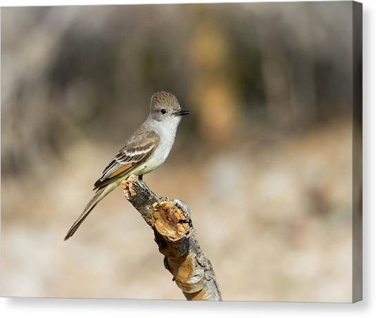 Flycatchers Canvas Print - Usa, Arizona, Buckeye by Jaynes Gallery