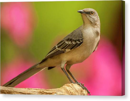 Mockingbirds Canvas Print - Usa, North Carolina, Guilford County by Jaynes Gallery