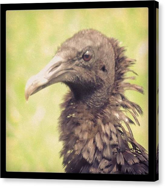 Vultures Canvas Print - #vulture #vultures #blackbird by Robb Needham