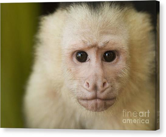 White-faced Capuchin Canvas Print