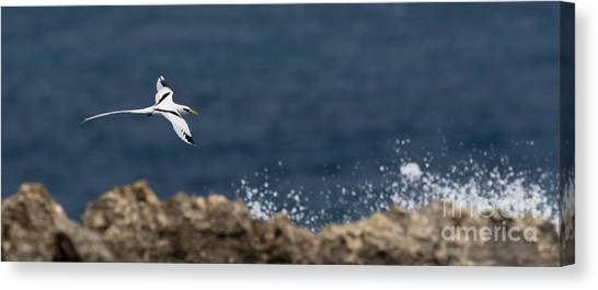 White-tailed Tropicbird Canvas Print