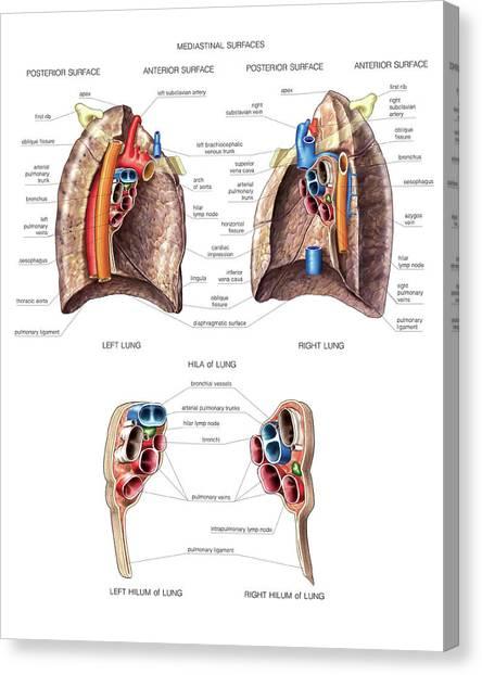 Surface Anatomy Canvas Prints | Fine Art America
