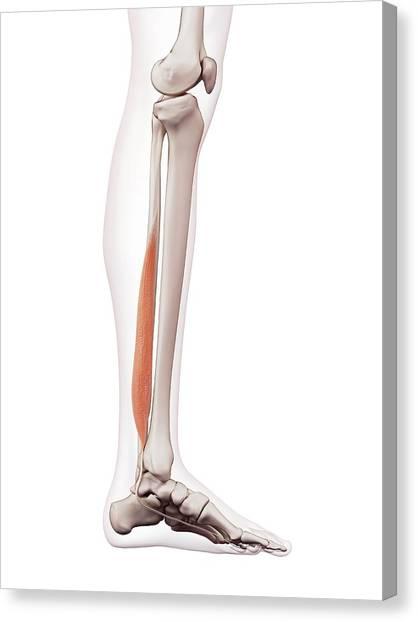Human Leg Muscles Canvas Print by Sebastian Kaulitzki/science Photo Library