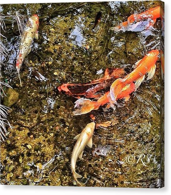 Koi Canvas Print - Instagram Photo by Reynaldo Soto