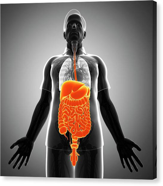 Male Digestive System Canvas Print by Pixologicstudio/science Photo Library