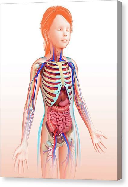 Human Internal Organs Canvas Print by Pixologicstudio/science Photo Library