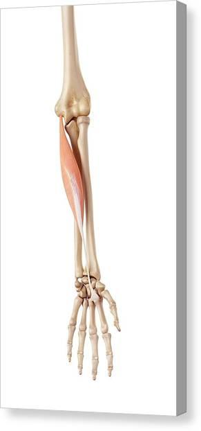 Muscles Of The Human Arm Canvas Print by Sebastian Kaulitzki/science Photo Library