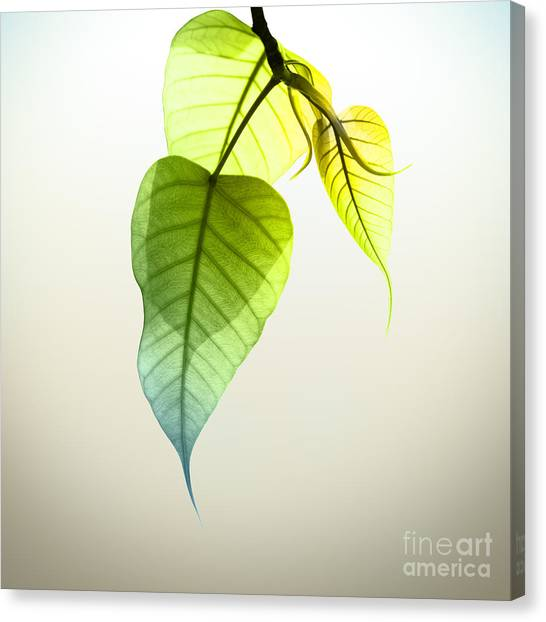 Pho Or Bodhi Canvas Print