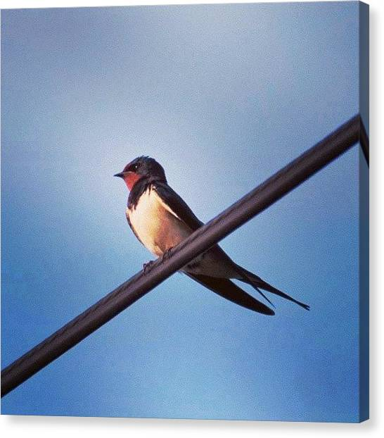 Swallows Canvas Print - Instagram Photo by Aaron Eckersley