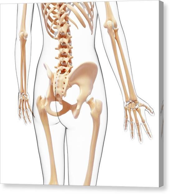 Human Skeleton Canvas Print by Pixologicstudio/science Photo Library