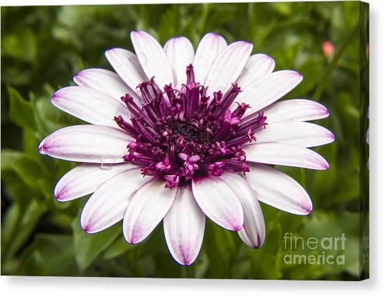 3d Berry White Cape Daisy - Osteospermum  Canvas Print