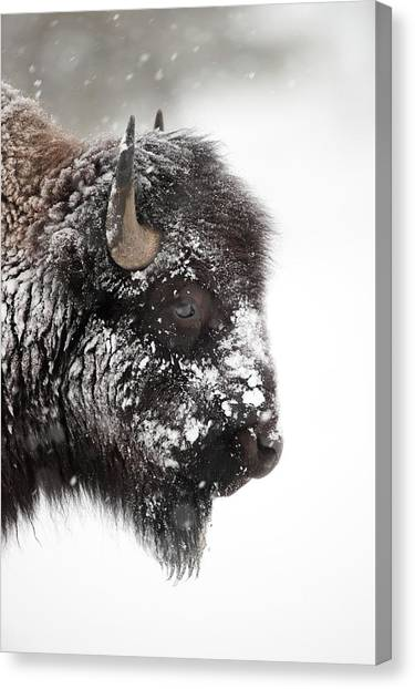 Canvas Print - American Bison by Dr P. Marazzi/science Photo Library