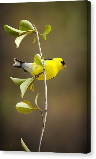 Finches Canvas Print - American Goldfinch by Christina Rollo
