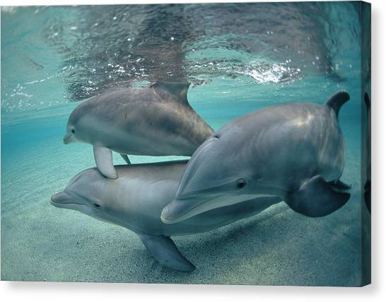 Bottlenose Dolphins Canvas Print - Bottlenose Dolphin  Trio Hawaii by Flip Nicklin