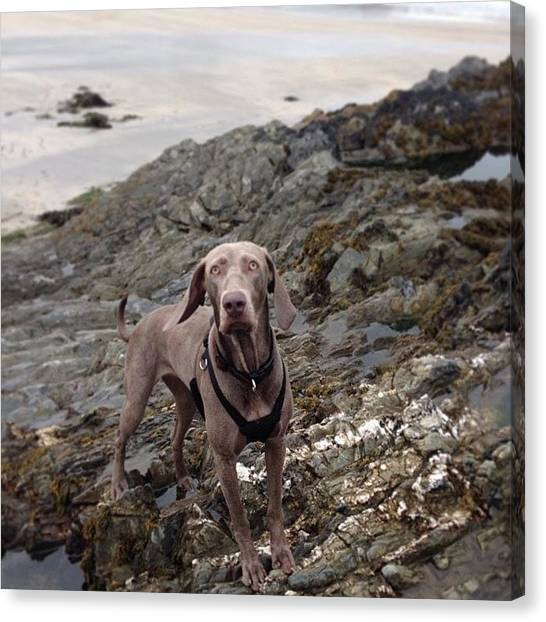 Weimaraners Canvas Print - Brooke #weimaraner #weim #walk #weim101 by Sam Marriott