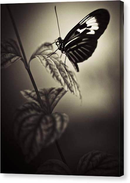 Butterfly Brown Tone Canvas Print