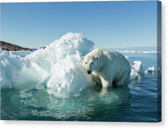 Nunavut Canvas Print - Canada, Nunavut Territory, Polar Bear by Paul Souders