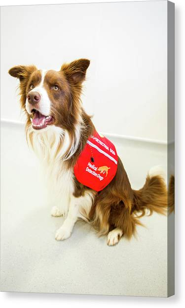 Border Collies Canvas Print - Cancer Detection Dog Training by Louise Murray
