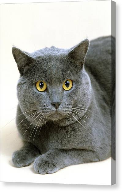 Chartreuxes Canvas Print - Chartreux by Gerard Lacz