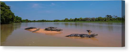 The Pantanal Canvas Print - Close-up Of Yacare Caimans Caiman by Panoramic Images