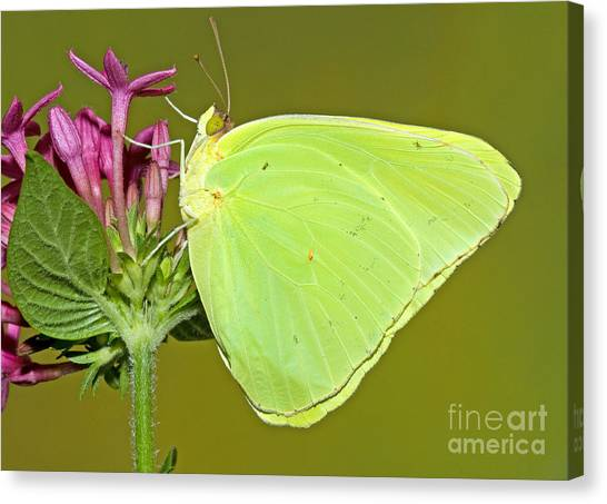 Sulfur Butterfly Canvas Print - Cloudless Sulphur Butterfly by Millard H. Sharp
