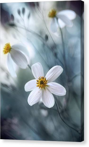 Cosmos Flower Canvas Print - Cosmos by Mandy Disher