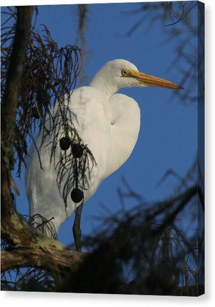 Egret Canvas Print by Jeff Wright