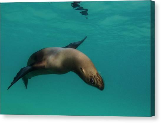 Ecuadorian Canvas Print - Galapagos Sea Lion (zalophus Wollebaeki by Pete Oxford