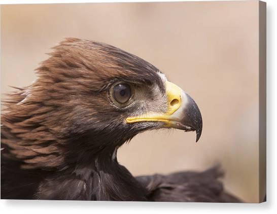 Glaring Eagle Canvas Print