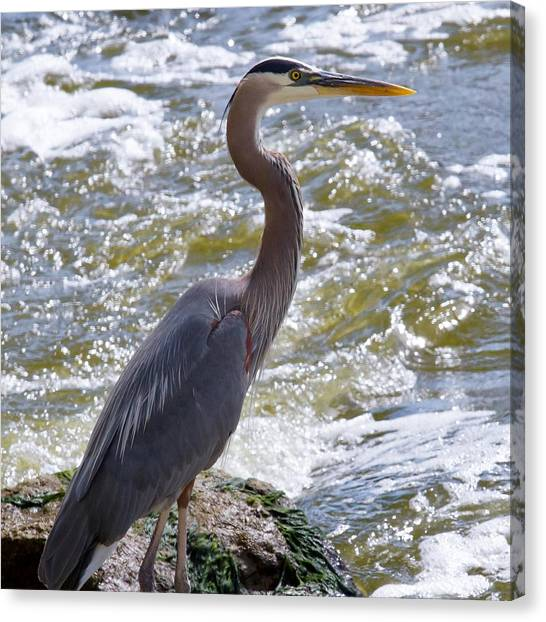 Great Blue Heron Fishing Canvas Print by Roger Gallamore