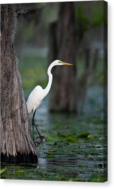 Great Cypress Canvas Print - Great Egret (ardea Alba by Larry Ditto