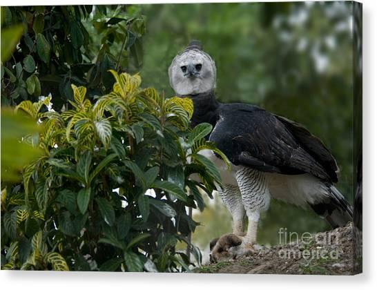 Harpy Eagle Canvas Print - Harpy Eagle Harpia Harpyja by Mark Newman