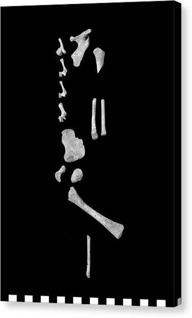 Infant Bones From Roman Britain Canvas Print by Natural History Museum, London/science Photo Library