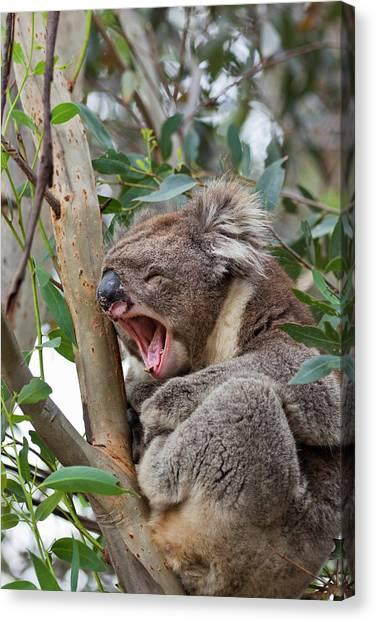 Koala Canvas Print - Koala (phascolarctos Cinereus by Martin Zwick